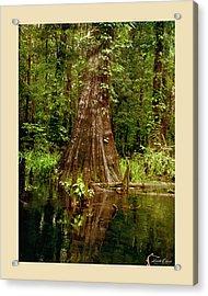 Cypress Roots Ichetucknee Acrylic Print by Linda Olsen
