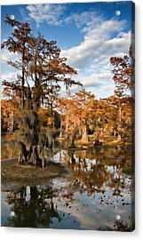 Cypress Rust Acrylic Print by Lana Trussell