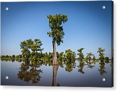 Cypress Tree Covered In Spanish Moss Acrylic Print
