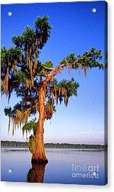 Cypress Tree Draped In Spanish Moss Acrylic Print by Thomas R Fletcher