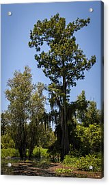 Cypress Tree With Moss Acrylic Print