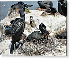 Acrylic Print featuring the photograph Dad And Mom Building The Best Nest by Susan Wiedmann