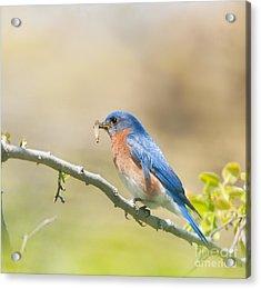 Daddy Bluebird Acrylic Print