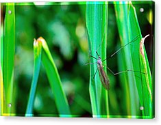Daddy Long Legs  Acrylic Print by Tommytechno Sweden