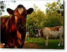 Dads Cows Acrylic Print