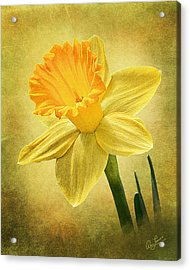 Acrylic Print featuring the photograph Daffodil by Ann Lauwers