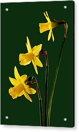 Daffodil Arrangment Acrylic Print