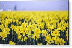Daffodil Blur Acrylic Print