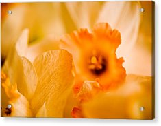 Daffodil Bouquet Acrylic Print by John Holloway
