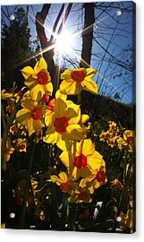 Acrylic Print featuring the photograph Daffodil Days by Richard Stephen