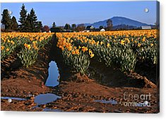 Daffodil Field After A Spring Rain Acrylic Print
