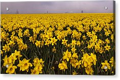 Daffodil Fields Of Fog Acrylic Print