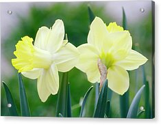 Daffodil Flowers (narcissus Sp.) Acrylic Print by Maria Mosolova/science Photo Library