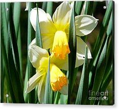 Acrylic Print featuring the photograph Daffodil Hug by Kristen Fox