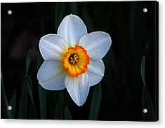 Acrylic Print featuring the photograph Daffodil In Riverside Park by Bill Swartwout