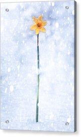 Daffodil In Snow Acrylic Print by Joana Kruse