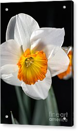 Daffodil In White Acrylic Print
