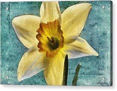 Daffodil Acrylic Print by Jeff Kolker