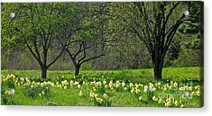 Acrylic Print featuring the photograph Daffodil Meadow by Ann Horn