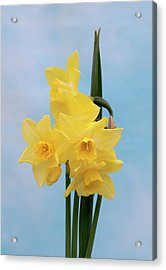 Daffodil (narcissus 'quail') Acrylic Print by Brian Gadsby/science Photo Library