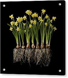 Daffodil Plants On Black Background Acrylic Print by William Turner