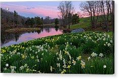 Daffodil Sunset Acrylic Print