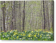 Daffodil Woods Acrylic Print by Alan L Graham