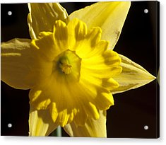 Acrylic Print featuring the photograph Daffodile by Haleh Mahbod