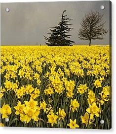 Daffodils A Plenty Acrylic Print