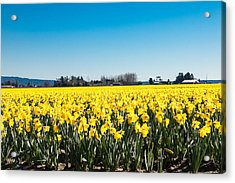 Daffodils And Blue Skies Acrylic Print