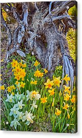Daffodils And Sculpture Acrylic Print by Omaste Witkowski