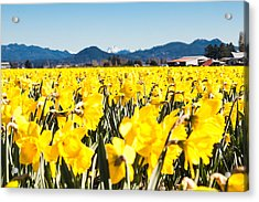 Daffodils And Snow-capped Mountains Acrylic Print
