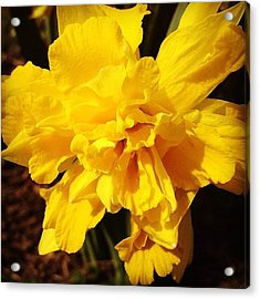 Daffodils Are Blooming Acrylic Print by Christy Beckwith