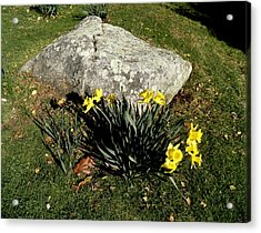 Daffodils By A Rock Acrylic Print by Kate Gallagher