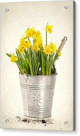 Daffodils Acrylic Print by Amanda Elwell