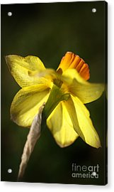 Acrylic Print featuring the photograph Daffodils Grace by Joy Watson
