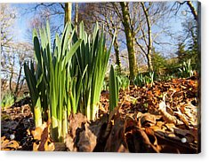 Daffodils In Spring In Ambleside Acrylic Print by Ashley Cooper