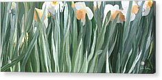 Daffodils In The Midst Acrylic Print