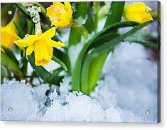Daffodils In The Snow  Acrylic Print