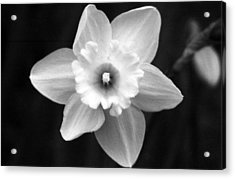 Daffodils - Infrared 01 Acrylic Print