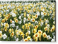 Acrylic Print featuring the photograph Daffodils by Lana Enderle