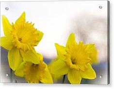 Daffodils Acrylic Print