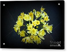 Daffodils Reaching Out Acrylic Print