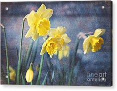 Acrylic Print featuring the photograph Daffodils by Sylvia Cook