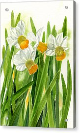Daffodils With Green Leaves Acrylic Print by Sharon Freeman
