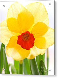 Daffy Acrylic Print by Jay Nodianos