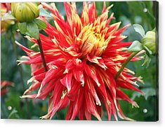 Acrylic Print featuring the photograph Dahlia 1 by Gerry Bates