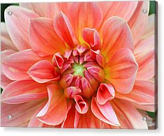 Acrylic Print featuring the photograph Dahlia 2 by Gerry Bates