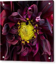 Dahlia - A Study In Crimson Acrylic Print