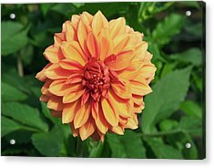 Dahlia 'askwith Lorie' Acrylic Print by Adrian Thomas/science Photo Library